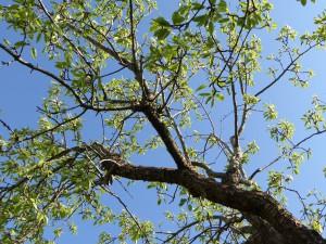 Päronträd1